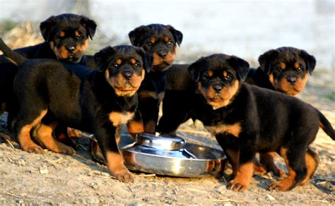 rottweiler puppies rottweiler puppies pics wallpaper pictures of animals 2016