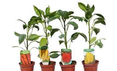 peperoni in vaso orto in vaso