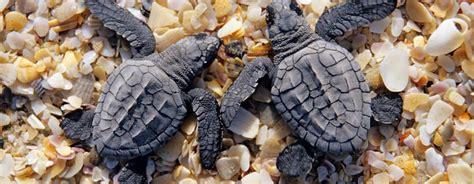 alimentazione tartaruga cosa mangiano i cuccioli di tartaruga alimentazione