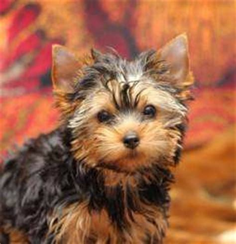 teddy bear cut for teacup yorkie teddy bear yorkie yorkshire terrier information center