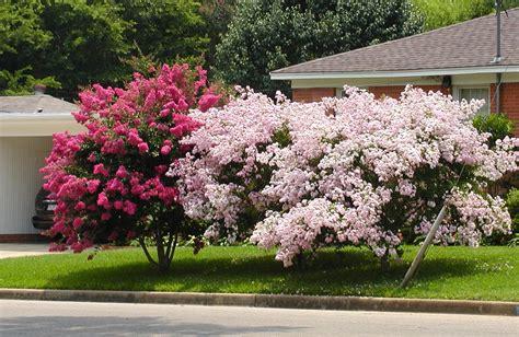 crape myrtle colors crapemyrtles for great summer color east gardening