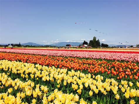 skagit valley bulb farm tulip town botanical gardens mount vernon wa united states yelp