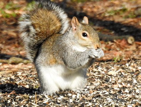 do squirrels eat sunflower seed shells