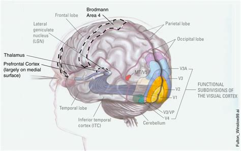visual cortex diagram visual snow