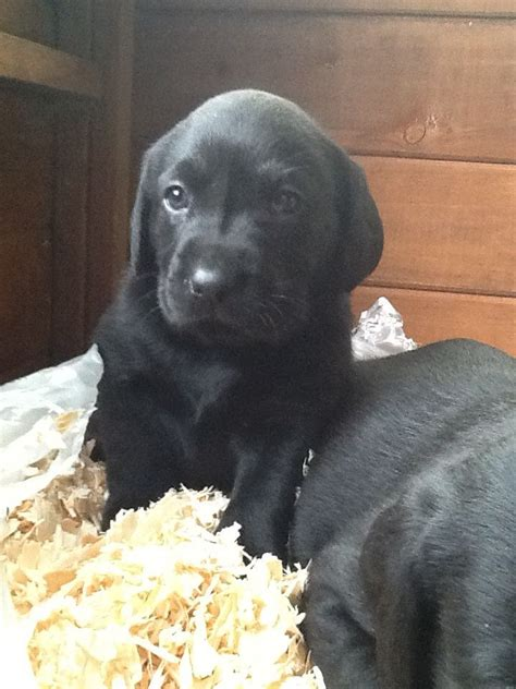 black lab puppies for adoption black labrador puppies for adoption quotes