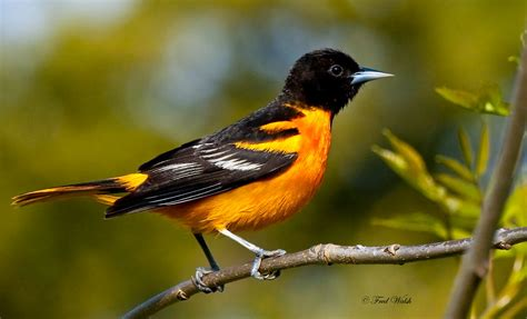 fred walsh photos baltimore oriole male