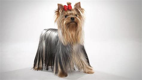 what is the expectancy of a yorkie what is the yorkie lifespan me and my pet