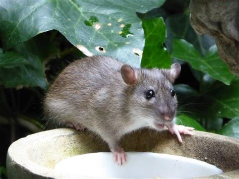 getting rid of rats in the garden thriftyfun