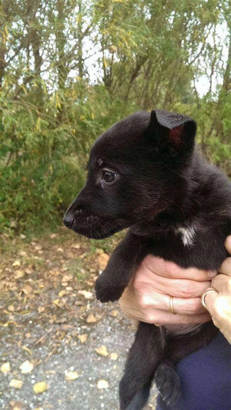 german shepherd black lab mix puppies black german shepherd lab mix puppies breeds picture