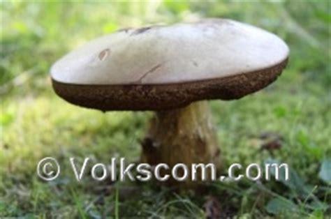 Pilze Im Heimischen Garten by Gartenxl Pilze Im Garten Gartenpilze Pilze Sammeln