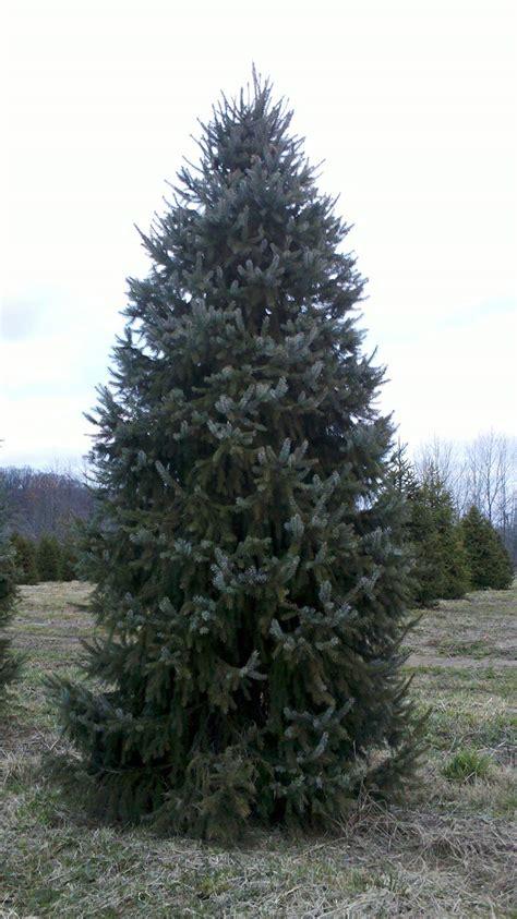 serbian spruce tree wholesale serbian spruce trees
