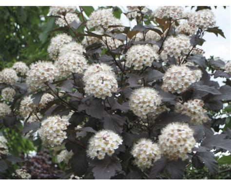Kleines Bild Vergrößern by Blasenspiere Physocarpus Opulifolius Diabolo 174 80 100 Cm