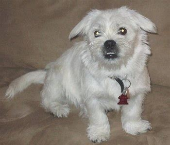 west highland terrier pug mix pugland pug west highland white terrier mix info temperament puppies pictures