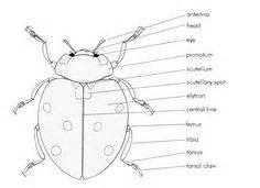 Ladybird anatomy of the lady bug see more 1 hide muramatsu ladybug
