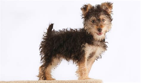what is the lifespan of a yorkie poo yorkipoo breed photo breeds picture
