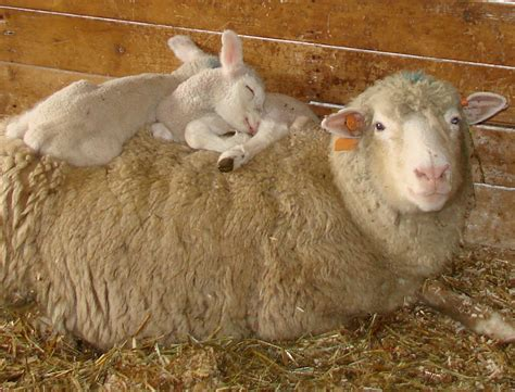For Lambs lambs sleeping in thick wool shepherd song farm shepherd song farm