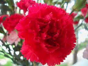carnation flower wallpaper free red carnation flower