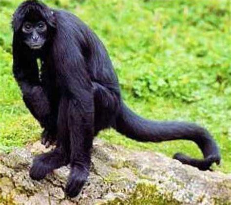 black monkey black spider monkey creation kingdom zoo