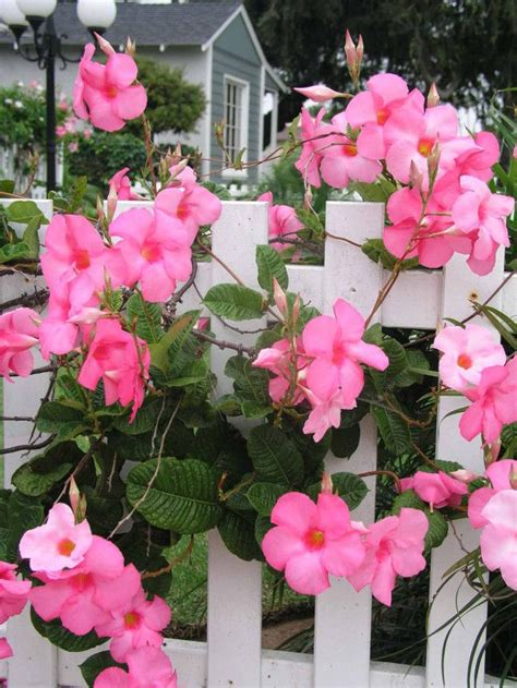 best 25 climbing flowering vines ideas on pinterest