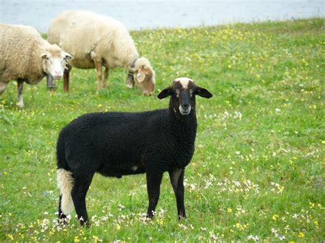 Imagenes Ovejas Negras Blancas | oveja negra de cola blanca imagen foto animales