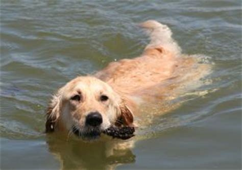 do golden retrievers like water labrador retriever for learn about the popular and great pet
