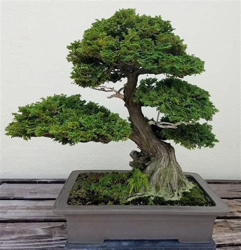 choosing growing bonsai guidelines to choose a suitable bonsai pot for your bonsai tree this lady blogs