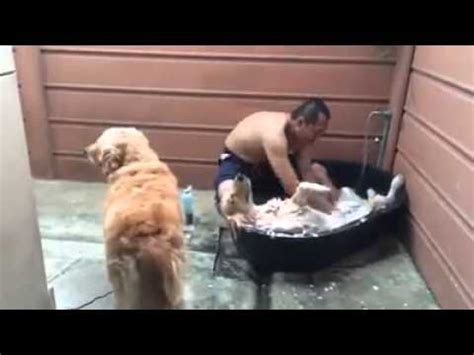 2 dogs in a bathtub golden retriever enjoys bath youtube