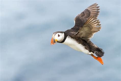 high quality stock photos of quot puffins quot