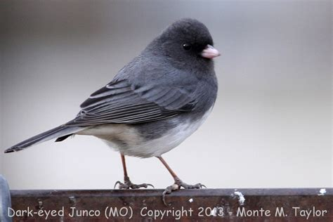 dark eyed junco winter www imgkid com the image kid