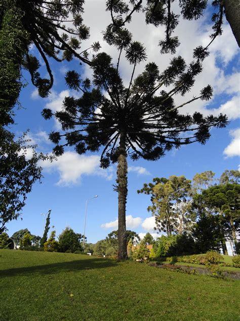 o tree araucaria angustifolia