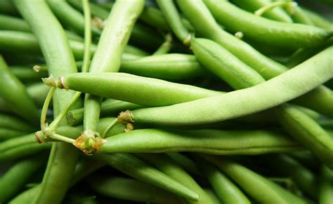 Recolte Haricot Vert by Haricot Vert Phaseolus Vulgaris Nain Ou 224 Rames