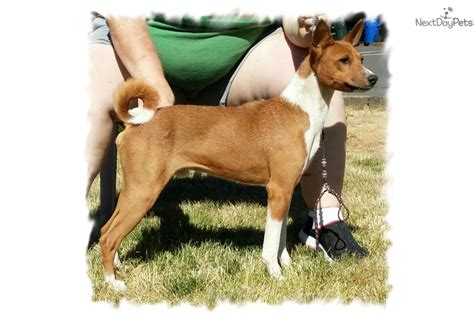 basenji puppies for sale near me basenji puppy for sale near salem oregon fd3fe80e e941