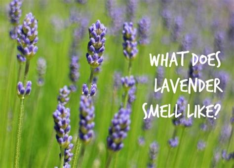 does concolor fir smell like oranges what does lavender smell like how things smell