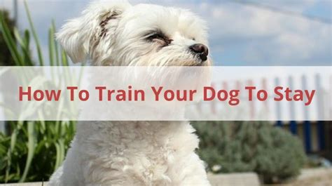 how to teach a puppy to stay pet sitters ireland pet facts pet news tips and reviews