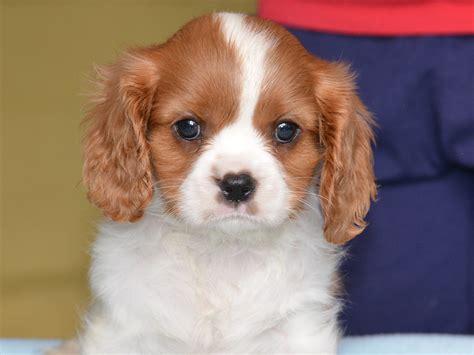 havanese vs cavalier king charles spaniel bunny cavalier king charles spaniel puppy for sale puppy