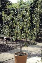 u cordon fruit trees u cordon fruit trees for sale from blackmoor nurseries