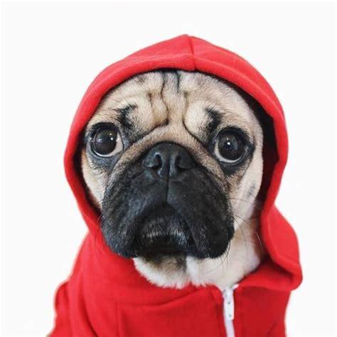 doug the pug website doug the pug reveals his in new yahoo small business advisor