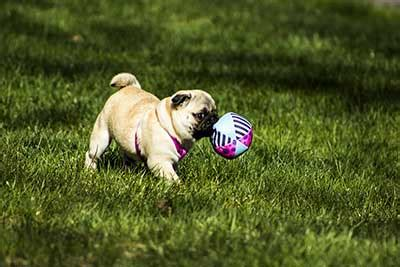 cost of a pug how much do pugs cost the highs and lows of budgeting for pugs