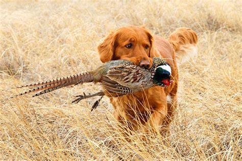 golden retrievers to hunt 5 best bird dogs you should bring with you on your trip me and my pet