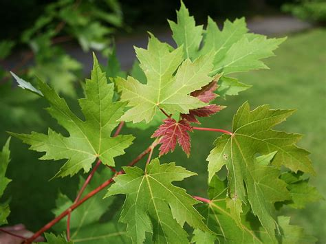 wallpaper daun maple pohon wallpaper gambar
