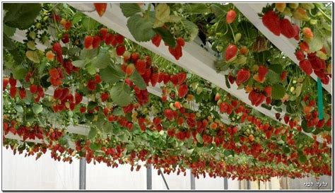 hanging strawberry planter hanging strawberry plants g h greenhouse