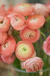 ranunculus flowers 1000 ideas about ranunculus on peonies flowers and dahlias