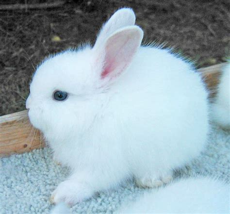Bantal Peyang Baby Rabbit Blue 85 best images about angora rabbits on spinning and pet portraits