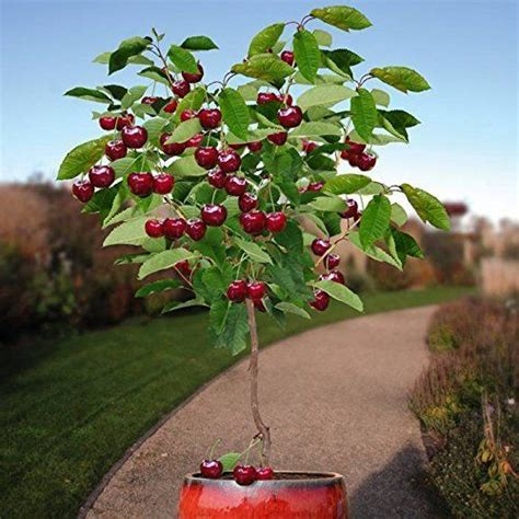 cherry tree mac os x 10 seeds cherry tree self fertile fruit tree indoor outdoor ebay