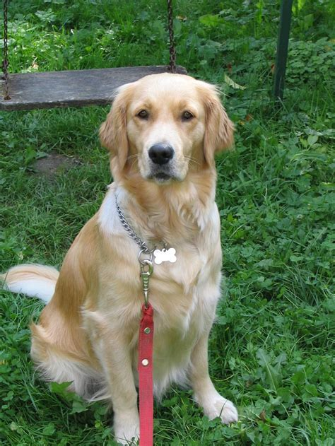 smelly golden retriever how to get rid of urine smell smells urine and dogs