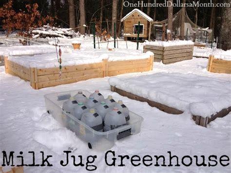 diy milk jug greenhouse winter sowing