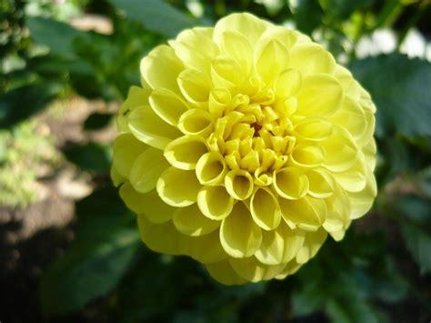 la flor de dalia laberinto 10 cosas sobre la dalia la flor nacional de m 233 xico