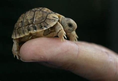 Tortoise L by Baby Desert Tortoise Animals