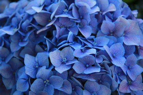 wallpaper of blue flowers best wallpaper hd 1080p free download 1366 215 768 flower