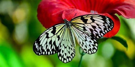 Imagenes De Mariposas Blancas Y Negras | mariposa de alas blancas y negras im 225 genes y fotos